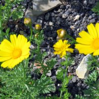 Желтые ромашки. :: Валерьян