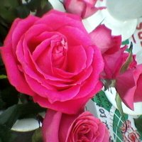 Розовая роза :: Миша Любчик