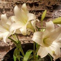 Белые лилии :: Ирина