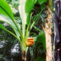 Цветок банана :: Aнна Зарубина