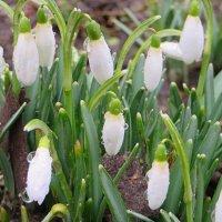 Первые весенние цветы!!! :: Ирина Олехнович