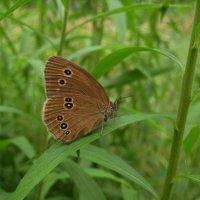 Бархат бабочки :: spm62 Baiakhcheva Svetlana