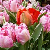 Тюльпаны - это дивные цветы...От всей не превзойдённой красоты...Душа и сердце просто замирает... :: Galina Leskova