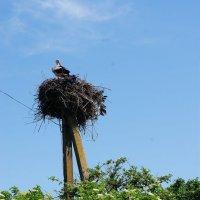 гнездо :: Люша