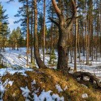 Весенний лес. :: Фёдор. Лашков