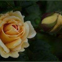Жёлтая розочка в каплях воды :: galina tihonova