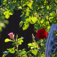 роза :: Александр Макаров