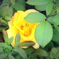 Роза :: Марина Труфанова
