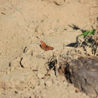 Бабочка на песке :: Никита Пастухович