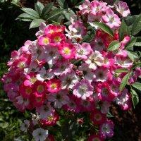 Цветы :: Денис Матвеев