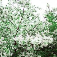 Один раз в год сады цветут :: Луиза Смирнова