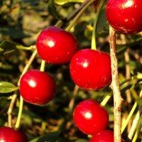 Спелые вишни :: Дмитрий Тарарин