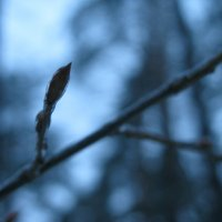 Почка дерева :: Алина Денискова