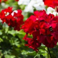 Красные и белые цветы :: Андрей Мирошниченко