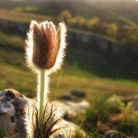 Горный цветок :: Anastasiya Efremova