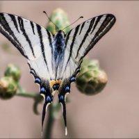 butterfly :: ale uro