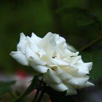 Белая роза :: Leonid Volodko