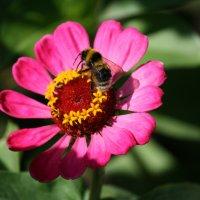 Пчёлка :: Соня Анисимова