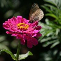 Бабочка :: Соня Анисимова