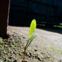 Зеленый росток :: Александр Маркин