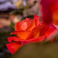 Кораловая роза :: Julia Julia