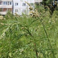Полевые травы в поселении :: Наталья Золотых-Сибирская