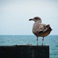 Британская чайка :: Татьяна Варфоломеева
