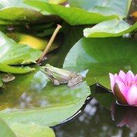 Лягушки на пруду :: Валерий Вольский