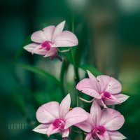 Orchids :: алексей афанасьев