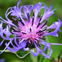 Просто красивый цветочек :: Весёлый Енот