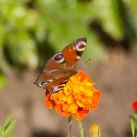 Бабочка :: Дмитрий Гридчин
