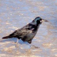 ворона на льду :: Александр Прокудин