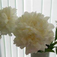 Белый пион :: Татьяна