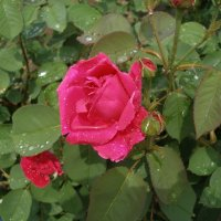 Розы после дождя :: Леонид Дудко