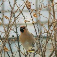 Angry bird :: Дмитрий Костоусов