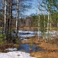 Собирает ручейки в лесу болото... :: Лесо-Вед (Баранов)