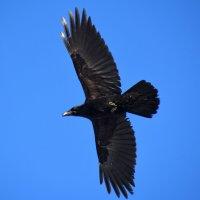Чёрный ворон... :: Геннадий Ячменев
