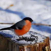 снегирь :: linnud