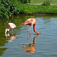 Розовые Фламинго :: Александр Корчемный