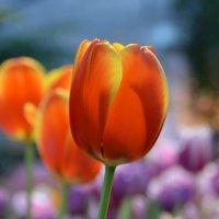 Тюльпаны поют о Весне!.. :: Ольга Русанова (olg-rusanowa2010)