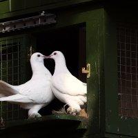 Голуби целуются :: Ravils H