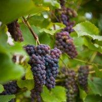 Подмосковный виноград. :: Борис Руненко