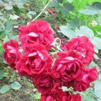 Парковые розы :: Дмитрий Никитин