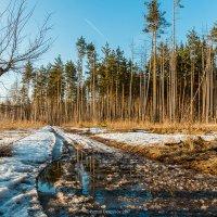 Весна в сосновом лесу :: Roman Dergunov