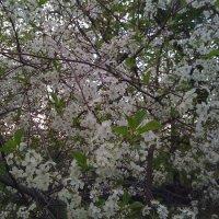 Цветущая вишня. :: Мара Абрамова