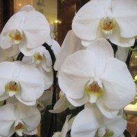 Орхидеи :: Маера Урусова
