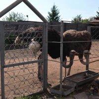 Африканские страусы :: Вера Андреева
