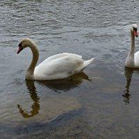 Лебеди на реке... :: Galina Dzubina