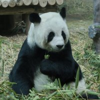 Панда :: Елена