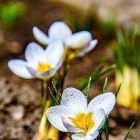 Цветок крокуса :: iv12